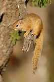 Tree squirrel Royalty Free Stock Image