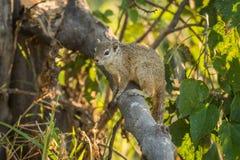 Tree squirrel on broken branch facing camera Royalty Free Stock Photography