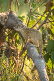 Tree squirrel on broken branch facing left Stock Images