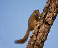 Tree squirrel climbing up a branch Royalty Free Stock Images