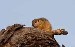 Tree squirrel climbing up a branch Royalty Free Stock Image
