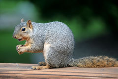 Tree Squirrel eating a nut. Squirrel eating a nut on deck rail Stock Image