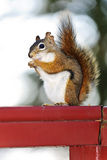 Tree squirrel eating peanut on red railing Stock Photography