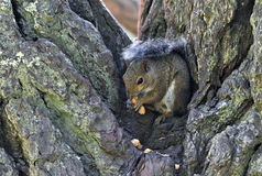 Tree Squirrel eating peanuts Royalty Free Stock Photo