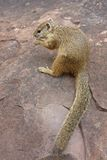 Tree squirrel eating on a rock. Royalty Free Stock Image