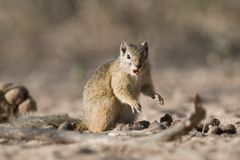 Tree squirrel on ground eating. Royalty Free Stock Photos