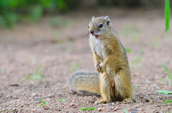Tree Squirrel in Kruger Park Stock Images
