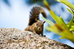 Tree squirrel looking to the camera Royalty Free Stock Photos