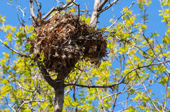 Tree squirrel nest high up in a tree Stock Images