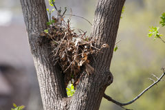 Tree squirrel nest high up in a tree in soft focus. Tree squirrel nest high up in a leafy tree in soft focus Royalty Free Stock Photos