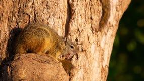 Tree squirrel (Paraxerus cepapi) Royalty Free Stock Images