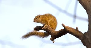 Free Tree Squirrel Paraxerus Cepapi Royalty Free Stock Photo - 126600885