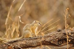 Tree Squirrel (Paraxerus cepapi) Royalty Free Stock Image