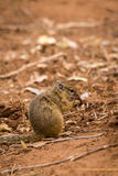 Tree Squirrel Paraxerus cepapi Eating Seeds on the Ground, South Africa Royalty Free Stock Photos