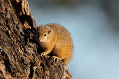 Tree squirrel Stock Photo