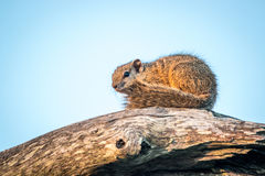 Tree squirrel sitting on a branch. Stock Images