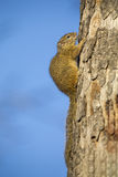 Tree squirrel sitting on the side of dry trunk Stock Photography