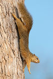 Tree squirrel in tree Royalty Free Stock Photography
