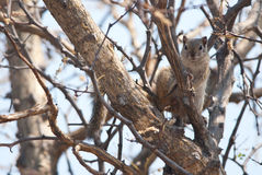 Tree squirrel Stock Images