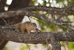 Tree squirrel Royalty Free Stock Photos