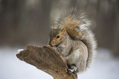 Tree squirrel in winter Royalty Free Stock Photography