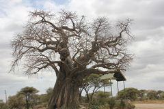 Tree stand alone. A tree photo, standing alone. was taken in Tanzania Stock Photography