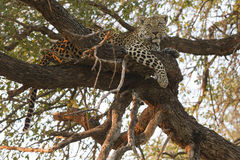Tree stand. A male African Leopard rests in a tree during the heat of day in South Africa in Mala Mala Royalty Free Stock Image