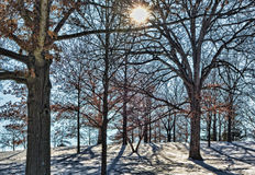 Tree Stand. Snowy hillside stand of trees Royalty Free Stock Photo