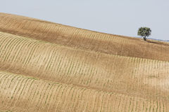 Tree standing alone in a farm field Stock Images