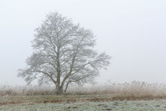 Tree standing in a foggy winter landscape Royalty Free Stock Image