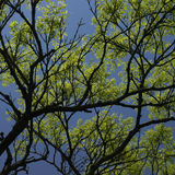 Tree starting to grow leaves Royalty Free Stock Images