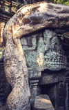 A tree starts to take over the ruins at Angkor Thom in Cambodia Stock Images