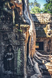 A tree starts to take over the ruins at Angkor Thom in Cambodia Royalty Free Stock Image