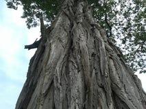 Tree stem Royalty Free Stock Image