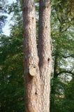 Tree stem Royalty Free Stock Photos