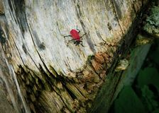 Tree stem log weather beaten rotten with a red bug royalty free stock image