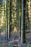 Tree Stems in Forest Royalty Free Stock Photo