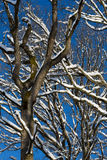 Tree stems with snow royalty free stock photo