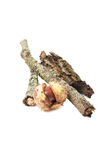 Tree stick with moss rind and horse chestnut Stock Image