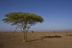 Tree in stone desert. Lonely tree in a stone desert in Morocco Stock Photography