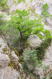 Tree in stone. Tree growing from rock in Moravic canyon in Sokobanja, Serbia Royalty Free Stock Images