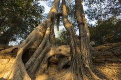 Tree on stone wall of Prasat Ta Prohm Temple in Angkor Thom royalty free stock photo