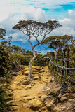 tree on stony path with blue sky -Borneo Royalty Free Stock Images