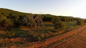 Tree with storks aerial. Landscape in motion, aerial view stock video footage