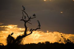 Tree with storks at sunset Royalty Free Stock Image