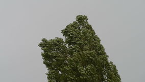 Tree in a storm. Black poplar (Populus nigra) blowing in a strong wind during an autumn storm stock video