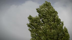 Tree in a storm. Black poplar (Populus nigra) blowing in a strong wind during an autumn storm stock footage