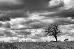 Tree in the storm BW. Lonely tree on a field in front of a vineyard with a stormy sky, monochromatic version Stock Image