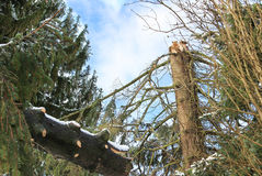 Tree with storm damage Stock Image