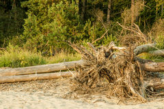 Tree. After storm on the river beach Royalty Free Stock Photos